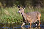 White-tailed doe wading in shallow water