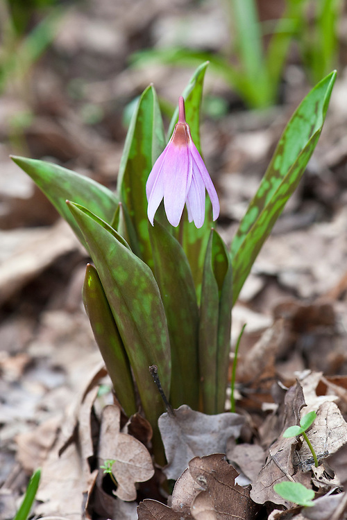 Dog's-tooth violet (Erythronium dens-canis), mid March.