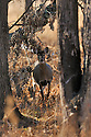 00275-194.06 White-tailed Deer (DIGITAL) doe is standing next to charred oak tree in old burn area during fall. Stomping forefoot. V4F1
