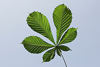 Gewöhnliche Rosskastanie, Roßkastanie, Ross-Kastanie, Kastanie, Aesculus hippocastanum, Blätter, Blatt vor blauem Himmel, Horse Chestnut