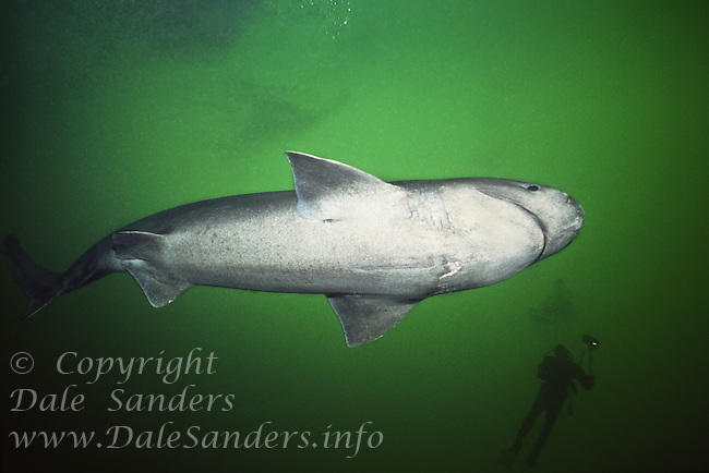Sixgill shark (Hexanchus griseus) and scuba diver underwater in Barkely Sound, British Columbia, Canada.