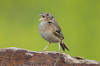 Grasshopper Sparrow (Ammodramus savannarum pratensis), Eastern subspecies, perched on a quarry rock and singing along Russell Road near Barton, Maryland.