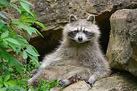 Raccoon (Procyon lotor), captive, Germany, Europe
