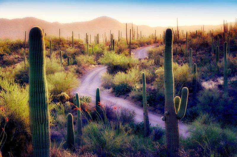 Saguaro cactus and blooming ocotillo with road. Saguaro National Park. Arizona