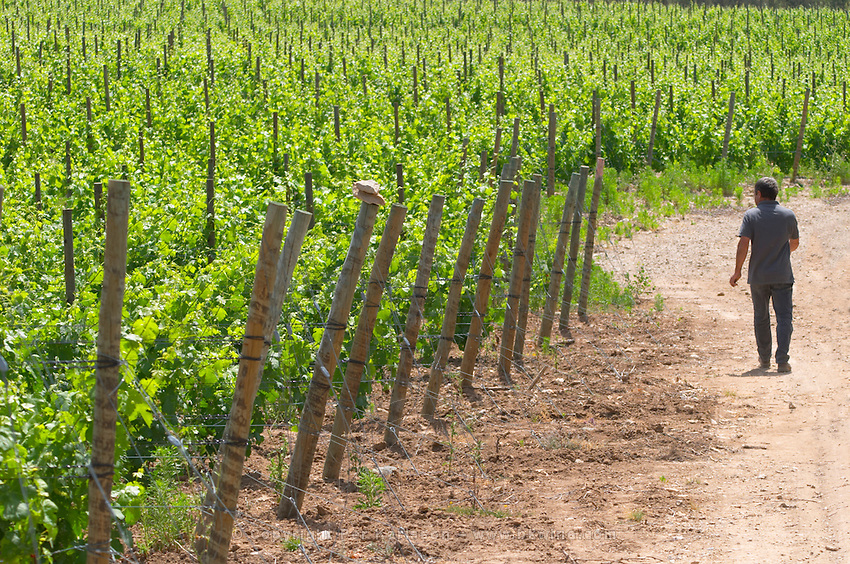 André Leenhardt Domaine Cazeneuve in Lauret. Pic St Loup. Languedoc. Syrah vine variety. Owner winemaker. France. Europe. Vineyard.