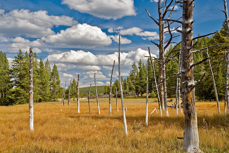 """Dead trees, """"Bobbysocks"""" trees with puffy white clouds. Yellowstone National Park, WY"""