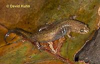 0606-0806  Northern Dusky Salamander, Desmognathus fuscus fuscus  © David Kuhn/Dwight Kuhn Photography