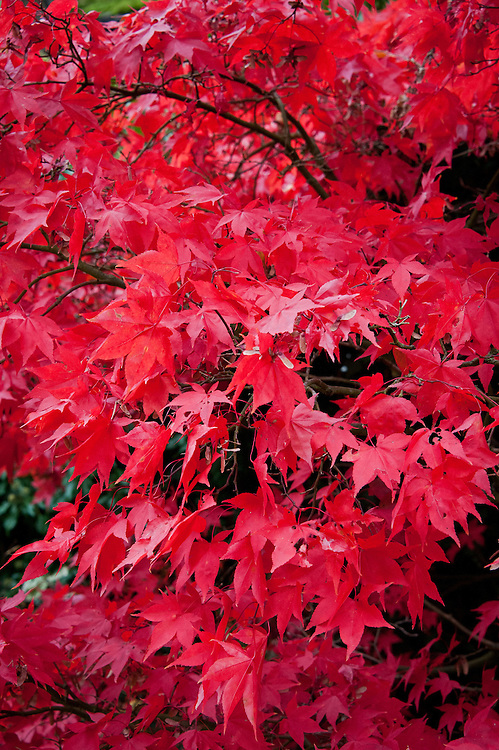 Acer palmatum 'Osakazuki', early November. One of the very best Japanese maples for autumn colour.