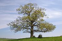 Eiche im Verlauf der Jahreszeit, Jahreszeiten, Jahreszeitenserie, Serie Frühling, Sommer, Herbst und Winter. Oak during the season, seasons, series spring, summer, autumn and winter. Quercus.