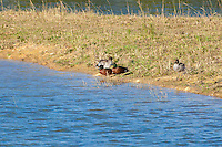 Chestnut Teal, Port Macquarie, NSW, Australia