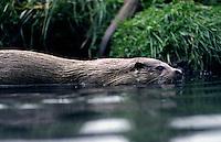 Otter (Lutra lutra) zwemmend aan beekoever