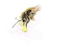 Honingbij (Apis melifera) Honingbij (Apis mellifera)
