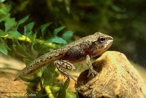 FR21-044e  Wood Frog - tadpole with 4 legs - Lithobates sylvaticus, formerly Rana sylvatica