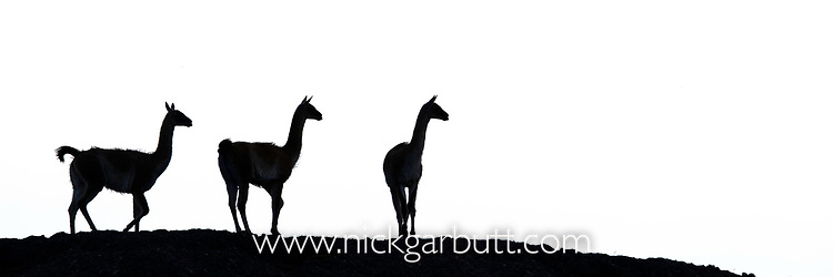 Adult guanacos (Lama guanicoe) in silhouette. Torres del Paine National Park, Patagonia, Chile.