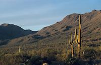 Saguaro Cactus, Carnegiea gigantea, Saguaro National Park, Tucson, Arizona, USA,