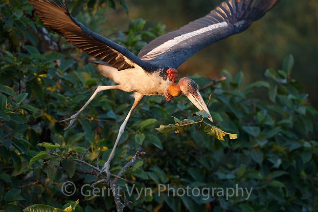 Greater Adjutant with nesting material. Dadara, Assam, India. December.