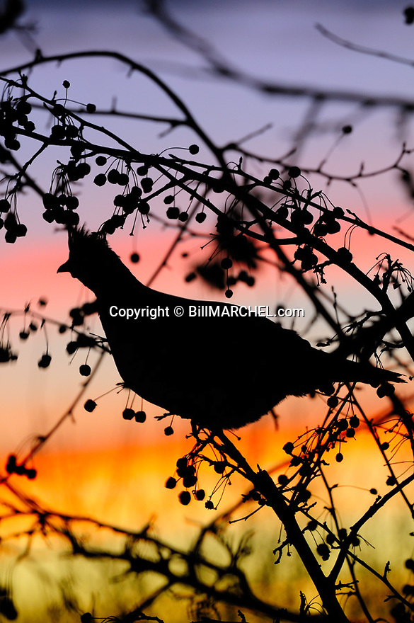 00515-075.11 Ruffed Grouse pauses while feeding on crab apples as it is silhouetted againts a colorful sky.  Feed, food, sunset, sunrise, habitat.