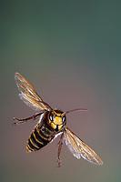Hornisse, Hornissen, Flug, fliegend, Vespa crabro, hornet, hornets, brown hornet, European hornet, flight, flying, Le frelon européen