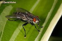 1225-0906  Flesh Fly (Maggot Fly), Family: Sarcophagidae  © David Kuhn/Dwight Kuhn Photography