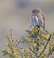 We saw a number of Austral pygmy owls during the trip.
