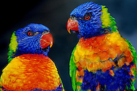 Rainbow Lorikeets (Trichoglossus haematodus).  Found along the eastern coast of Australia.