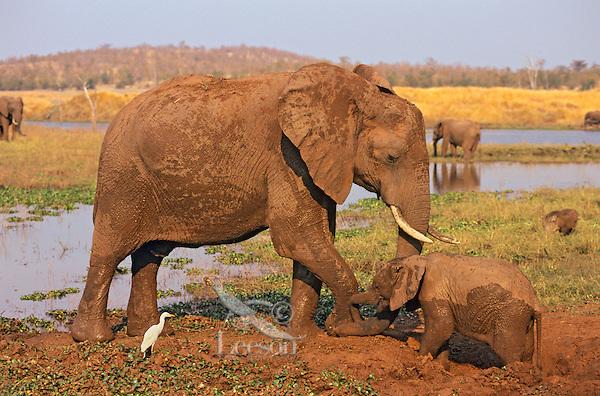 African Elephant Cow and Calf mud bathing.  Africa.  (Loxodonta africana)