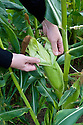Peeling back the leaves around a corn cob to test for ripeness, early August.