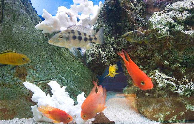 Fish in Aquarium, Ozu Restaurant, Paris, France, Europe