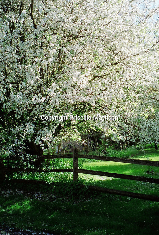 A tree with white blossoms stands over a wood fence and green lawn.