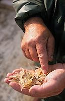 Europe/France/Aquitaine/33/Gironde/Env de Pauillac: André Gouzil pêcheur professionnel pêche la crevette sur l'estuaire de la Gironde (AUTORISATION N°279)