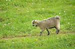 Steam Valley Fiber Farm.  Angora goat