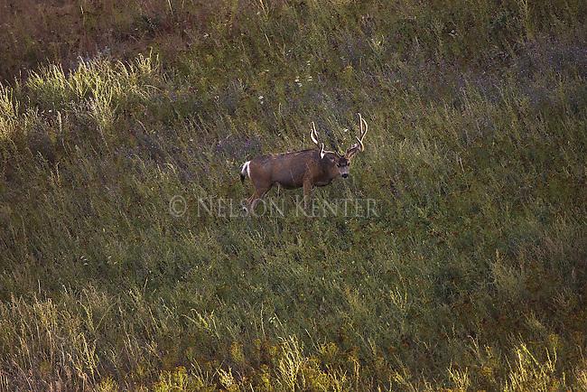 Mule deer buck with antlers in velvet