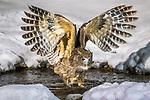 Japan, Hokkaido, Blakiston's fish owl (Bubo blakistoni), the largest living species of owl
