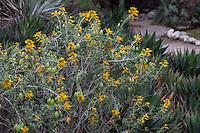 Peritoma arborea - (syn. Cleome isomeris) Bladderpod or California cleome, flowering at California Botanic Garden