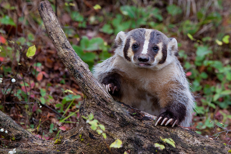 Badger watching while leaning on an old log - CA