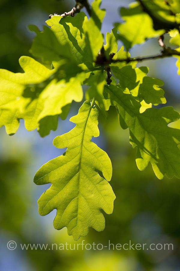 Frisches Eichenlaub, Eichenblatt, Eichenblätter, Stiel-Eiche, Eichen,Stieleiche, Eiche, Quercus robur, Blätter, Blatt, English Oak, oaks, leaf, leaves