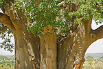 A leopard rests in the shade of a large baobab tree  in Amboseli National Park, Kenya.
