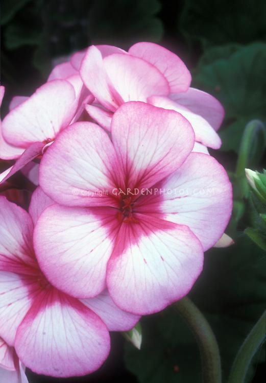 Pelargonium Maverick Star flowers (annual geranium) pink with red star center. f1 Hybrid geranium.