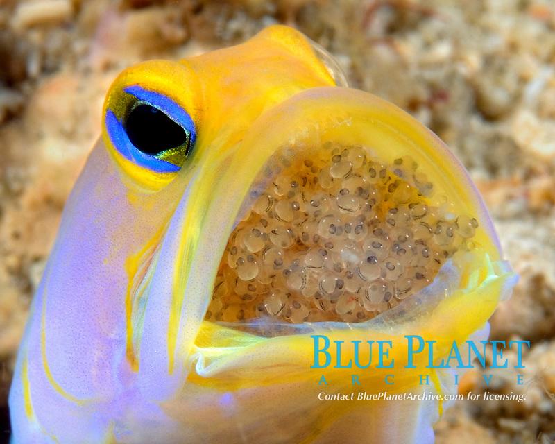 A male Yellowhead Jawfish (Opistognathus aurifrons) mouth brooding eggs, Boynton Beach, Florida, USAA Atlantic Ocean