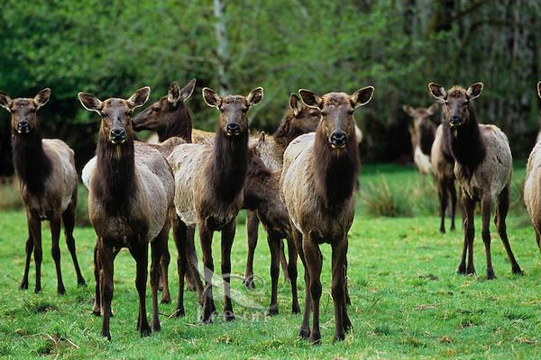 Roosevelt Elk herd (mostly cows).  Pacific Northwest.  Spring.