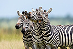 4 zebras giggle like children in a line by Rahul Bansal