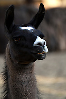 CALI - COLOMBIA - 27 - 09 - 2017: Llama (Lama Glama), especie de Camelido en el Zoologico de Cali, en el Departamento del Valle del Cauca.  / Llama (Lama Glama), a species of Camelido in the Zoologist of Cali, in the Department of Valle del Cauca. / Photo: VizzorImage / Luis Ramirez / Staff.