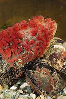 Fleischschwamm, Fleisch-Schwamm, Oscarella cf. lobularis, Halisarca cf. lobularis, Oscaria cf. lobularis, flesh sponge, éponge bleue