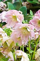 Helleborus x hybridus Party Dress Group type - pale pink hellebore
