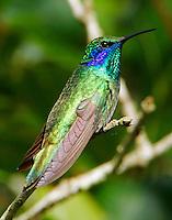 Green violet-ear