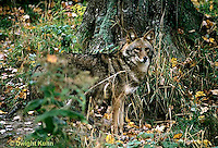 MA27-044z  Eastern Coyote - Canis latrans