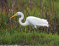 Great egret in breeding plumage with minnow