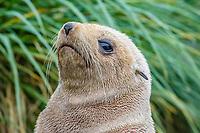 Antarctic fur seal, Arctocephalus gazella, aka Kerguelen fur seal, rare, leucistic pup, Cooper Bay, South Georgia, Atlantic Ocean