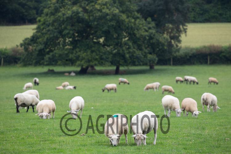 Ewes and lambs grazing in parkland in Northamptonshire <br /> ©Tim Scrivener Photographer 07850 303986<br />      ....Covering Agriculture In The UK....