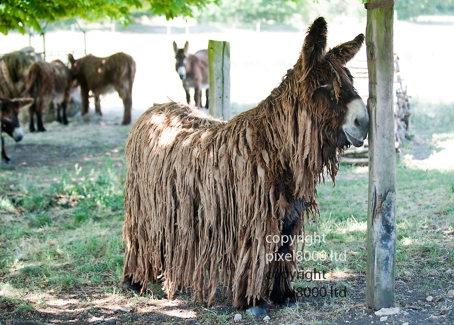 """Rare Le Baudet """"rasta"""" dreadlocked donkeys. .(pic shows: Lambada - older donkey.)...Three day old donkey """"Belle"""" daughter of  Lorelei is learning to walk. She struggles to her feet encouraged by her mother and two handlers and this donkey sanctuary..One up she manages to prance around but almost immediately is tired out and has to be taken off for a sleep in her stable..Unfortunately the steps is too much for her and handler 20 year old Melanie has to carry the 88 pound baby - (five and a half stones.).Belle and her mother live at a donkey sanctuary in Charente, France...When she is fully grown she will eventually have much more hair like Lambada.....Picture by Gavin Rodgers/ Pixel8000. 07917221968"""